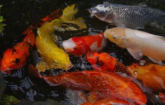 Visteelt, alles voor uw vijver en vis